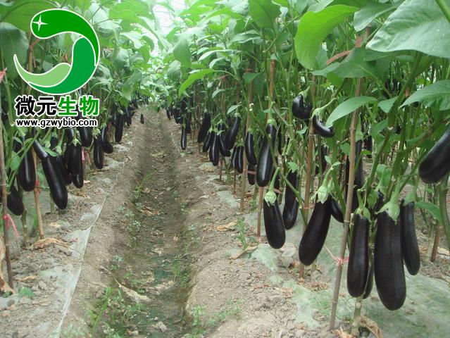 茄子根结线虫病如何防治茄子根结线虫病防治方法与药剂